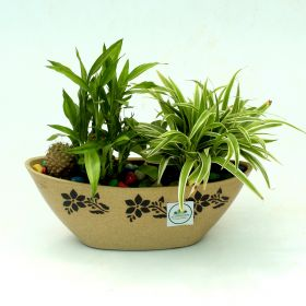 MDG-Mixed Indoor plant, Cactus, Lucky Bamboo, Cholophyta1