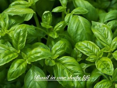 BASIL & ITS USES
