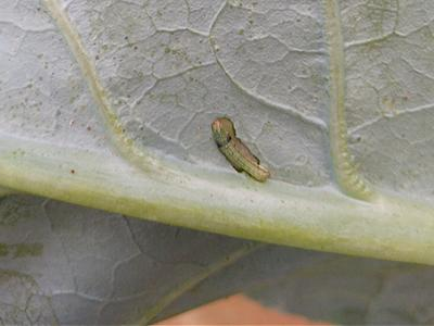 CATERPILLARS IN YOUR GARDEN