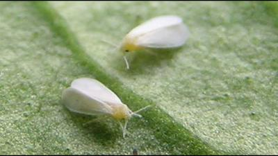 How to control White flies in Your garden???
