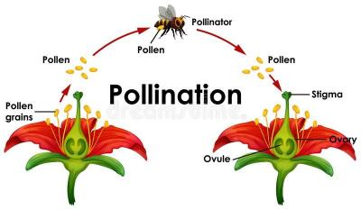 INTRODUCTION TO POLLINATION