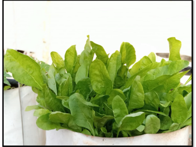 How To Grow Spinach / Palak At Home and Its Uses