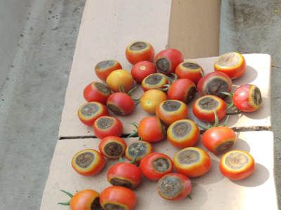 Is there solution for Blossom End Rot in TOMATO?